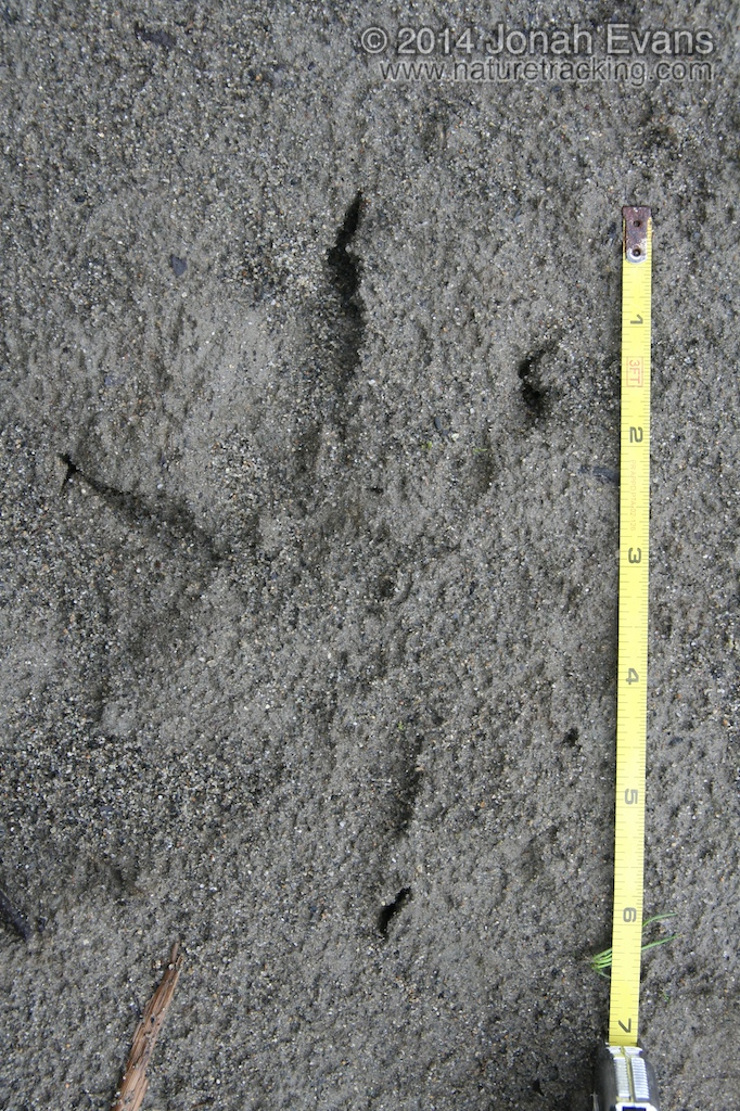 eagle tracks - photo #14