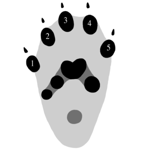 Toe Numbering in Mammal Tracks (American Marten)
