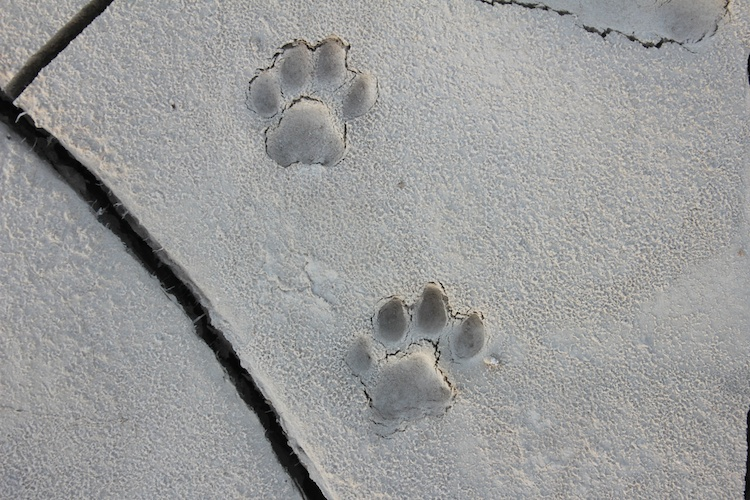 Mountain Lion Tracks Naturetracking